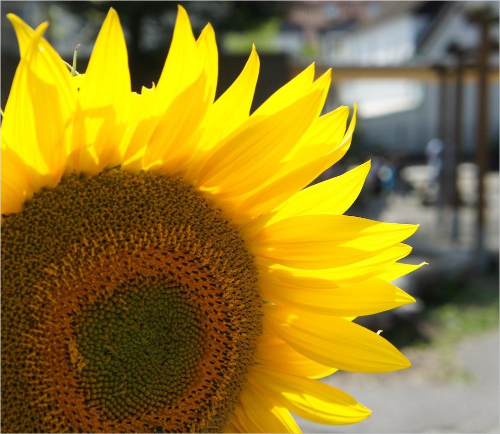Die prächtige Sonnenblume, die momentan unseren Schulhof schmückt.
